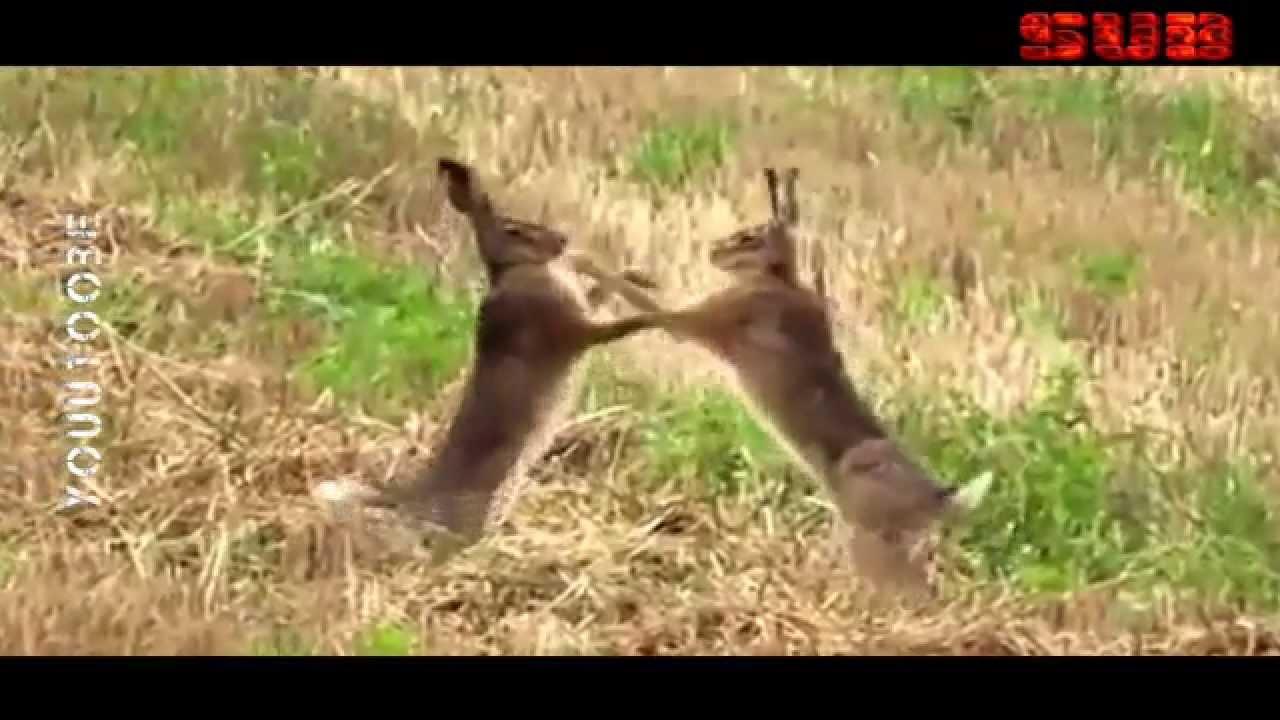 Víte, jak umí zajíci boxovat?
