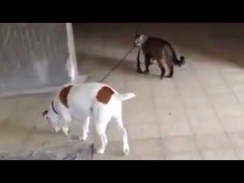 Kočka venčí psa