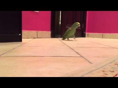 Ďábelský papouškův smích