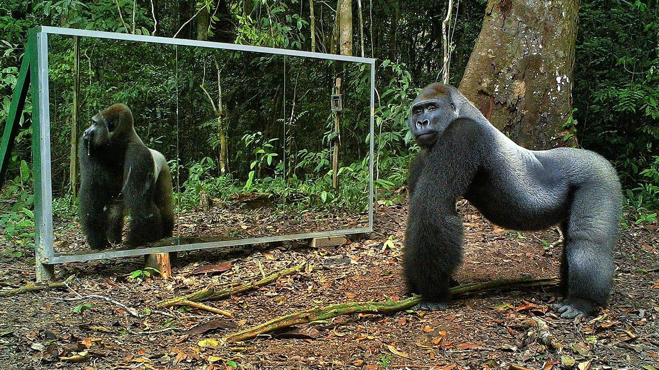 Reakce zvířat, která se poprvé viděla v zrcadle!