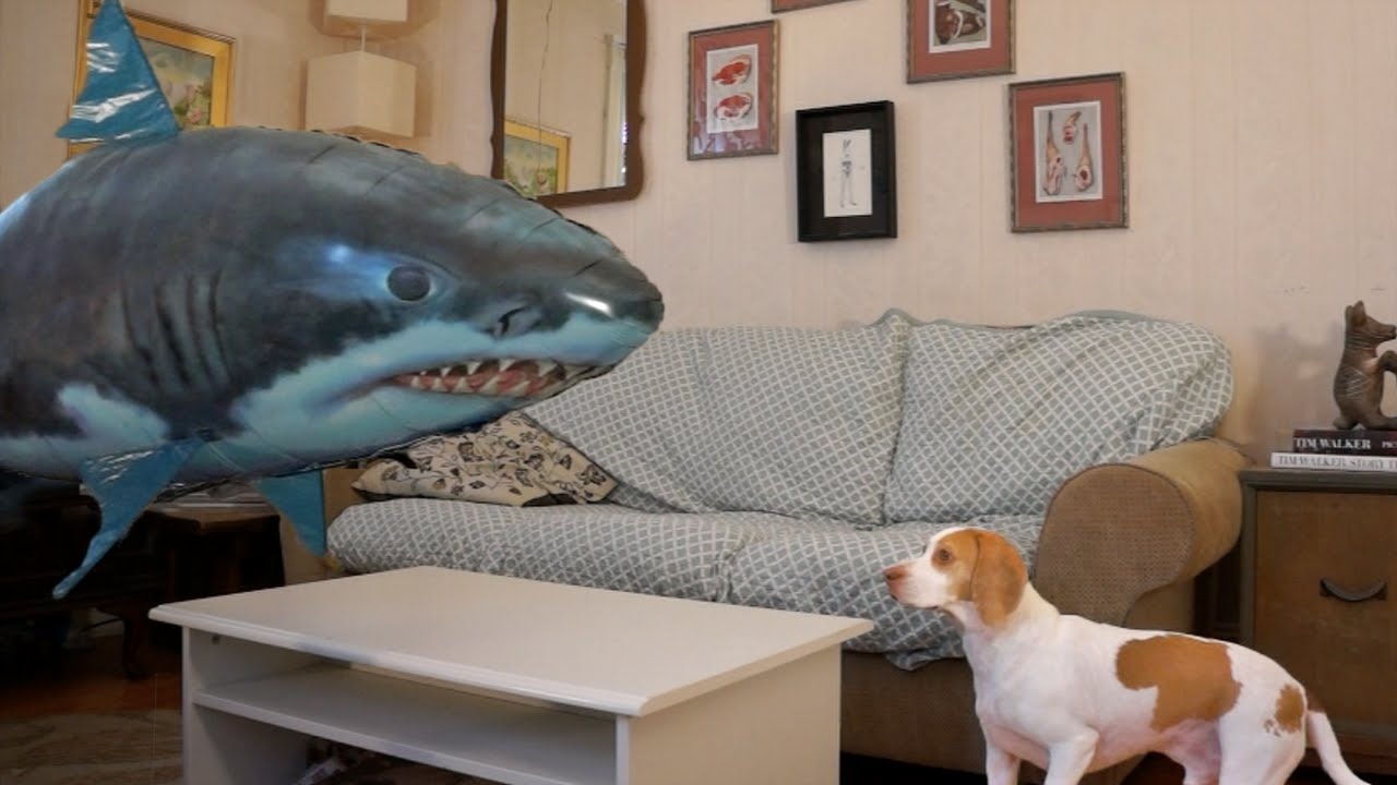 Pejsek zpacifikoval nebezpečného žraloka