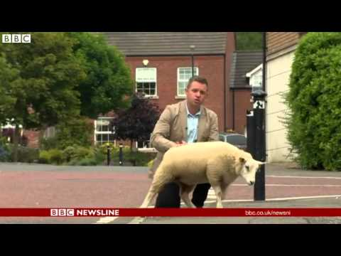 Reportéra počůrala ovečka