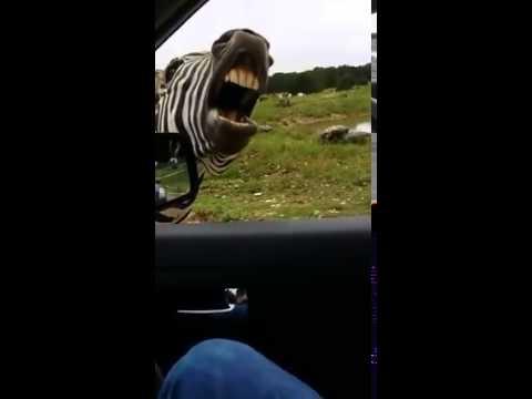 Zpívající zebra – připravte si bránici