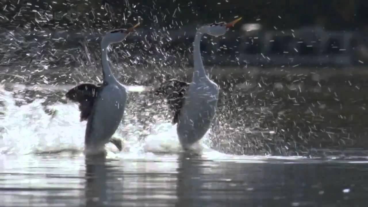 Elegantní a zároveň rozkošná chůze po vodě – máme se co učit!