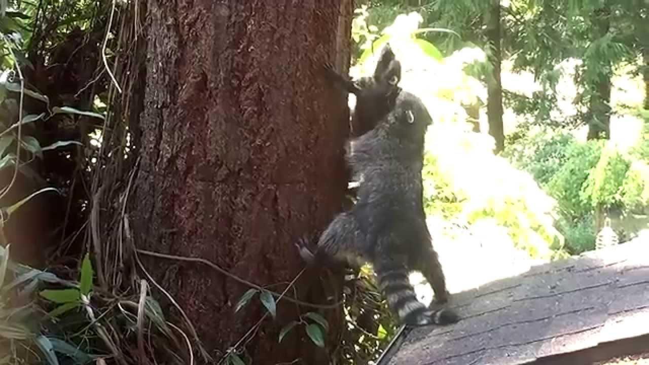 Maminky jsou báječné i ve zvířecí říši: Podívejte se, jak mývalí máma učí své mládě lézt na strom