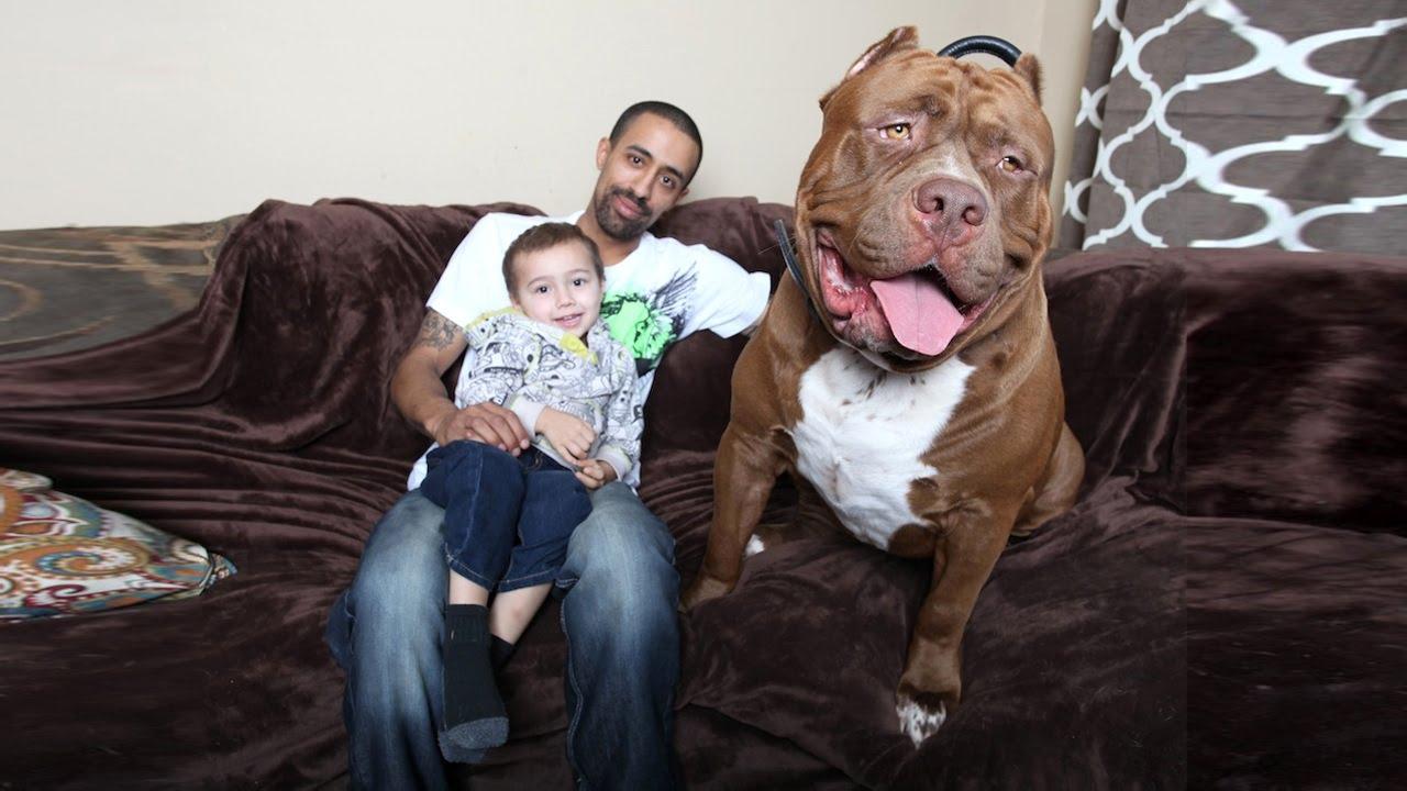 Seznamte se s Hulkem, gigantyckým pitbullem