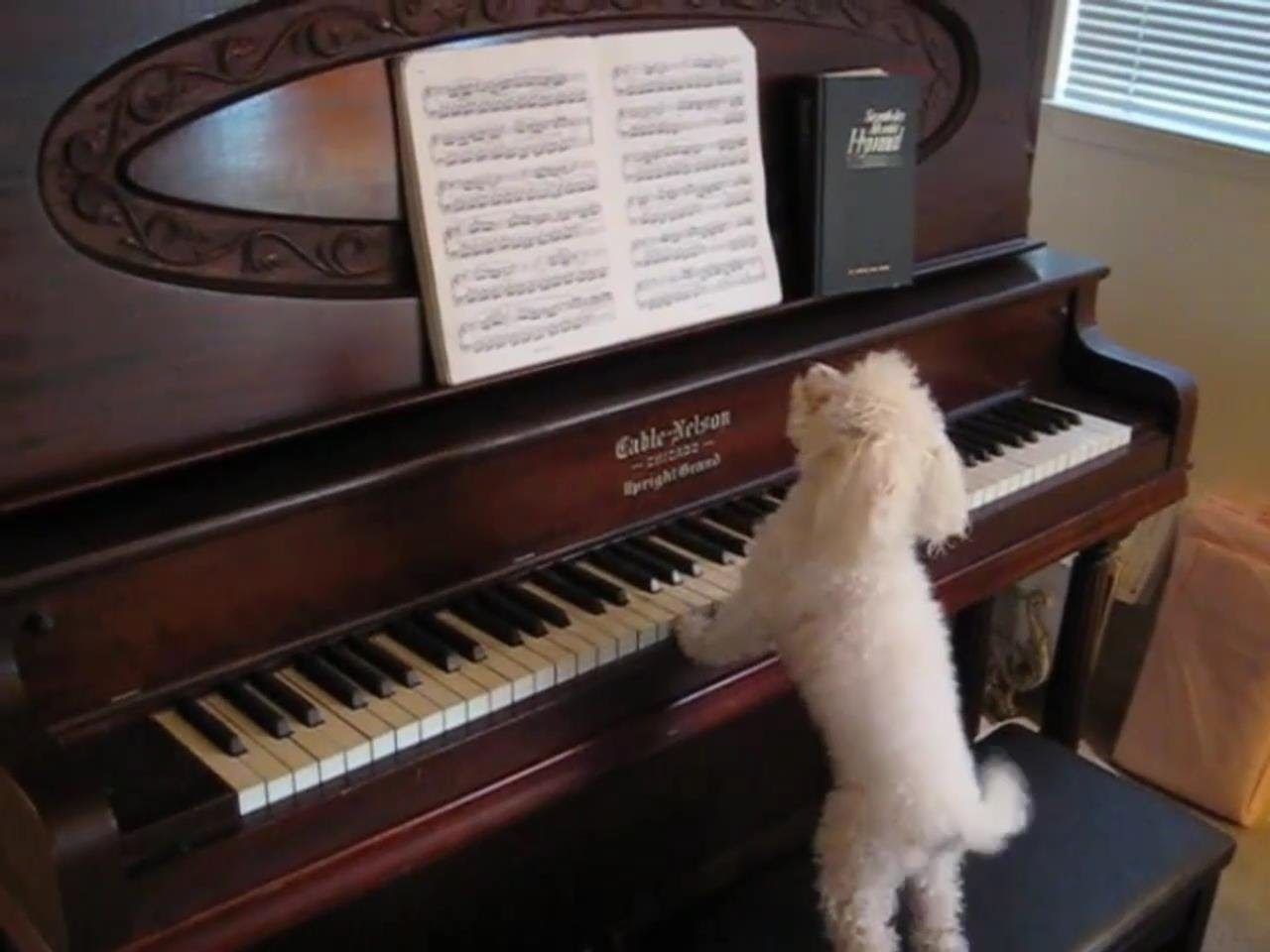 Slyšeli jste někdy psa hrát na piáno?