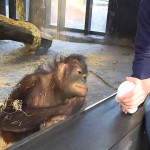 Jaká je reakce orangutana na magický trik?